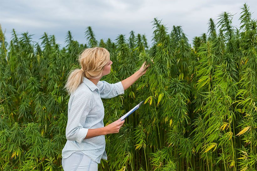 Woman observing CBD hemp plants and taking notes.