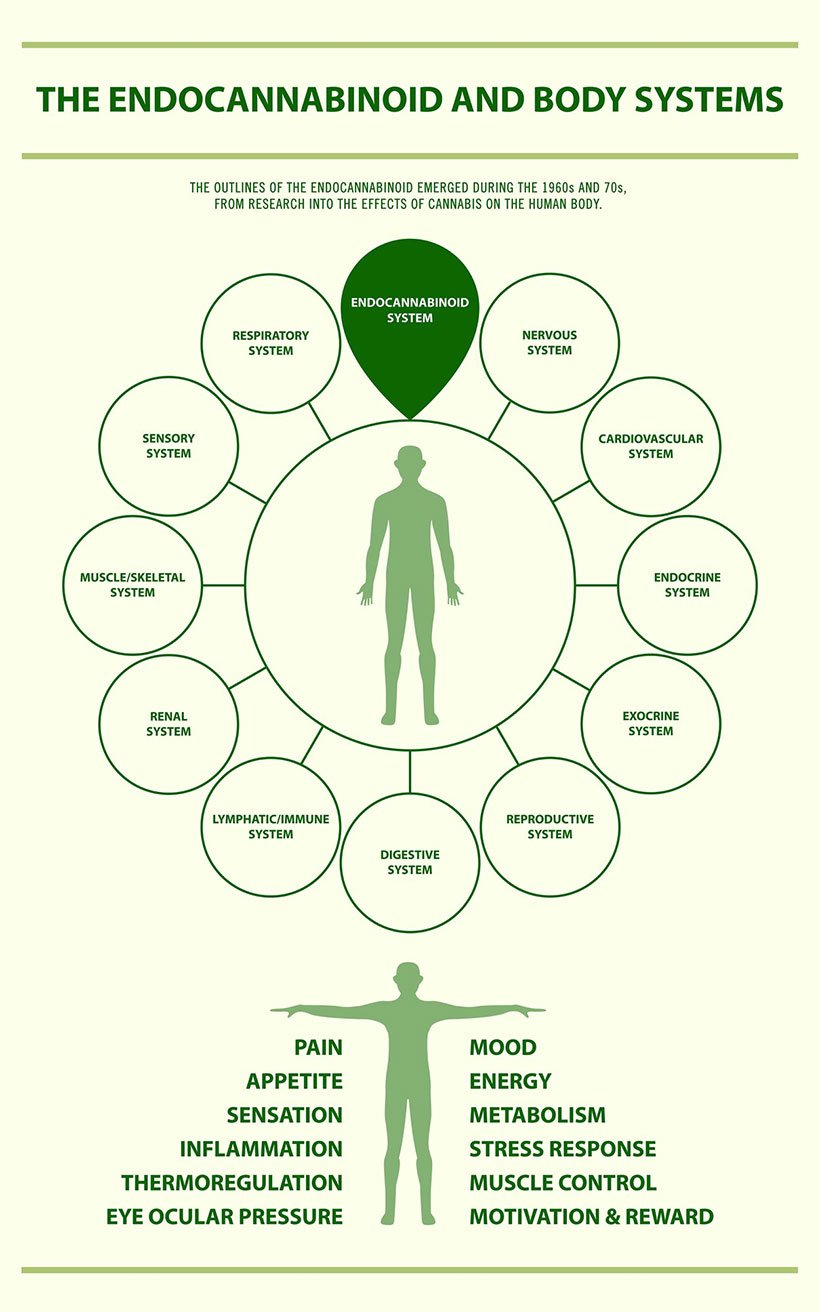 Endocannabinoid and Body Systems - Endocananbinoid System vertical infographic illustration about cannabis as herbal alternative medicine and chemical therapy, healthcare and medical science vector.